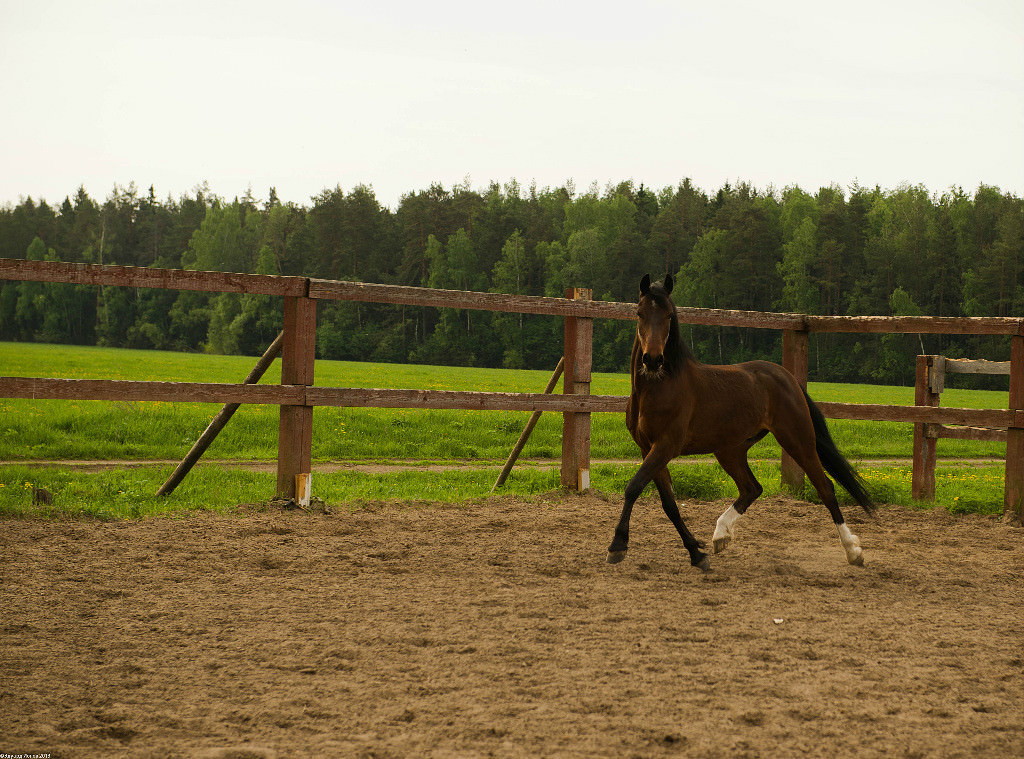 Тренировка лошадей в конном клубе